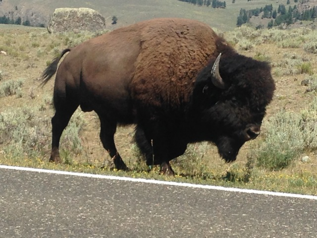 buffalo-yellowstone